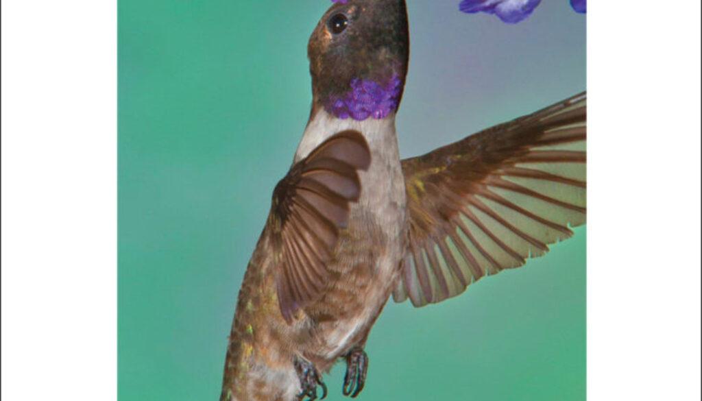 hummingbirds_cards_9781591936954_004_iart.jpg