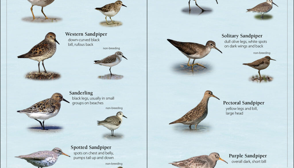 shorebirds_of_the_southeast_and_gulf_9781591936565_001_iart.jpg