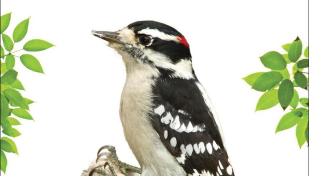 woodpeckers_9781591937074_001_FC.jpg