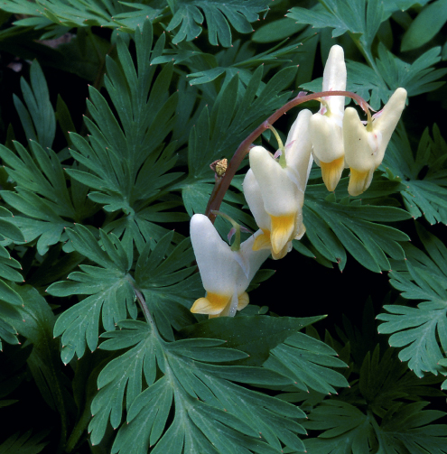 White and yellow Dutchman's-breeches blooming in the wild.