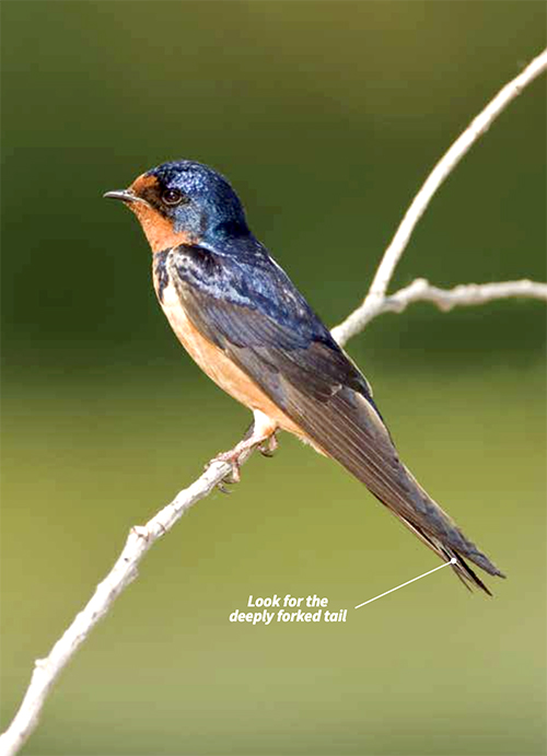 A deeply forked tail Barn Swallow perched on a thin tree branch.