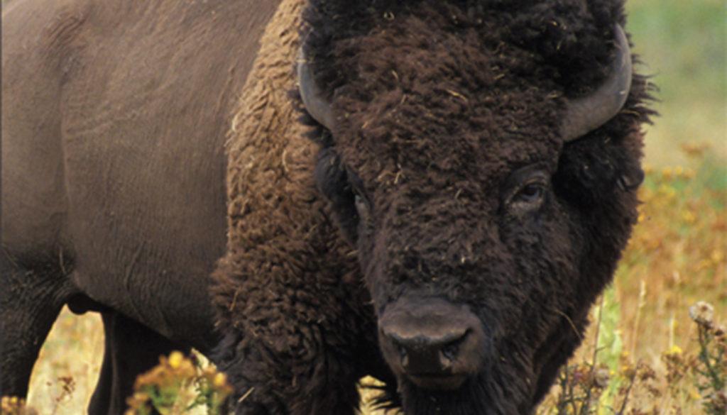 bison_blank_journal_lined_9781935666073_FC.jpg