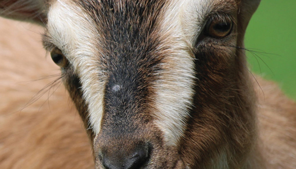 goat_blank_journal_9781947237124_FC.jpg