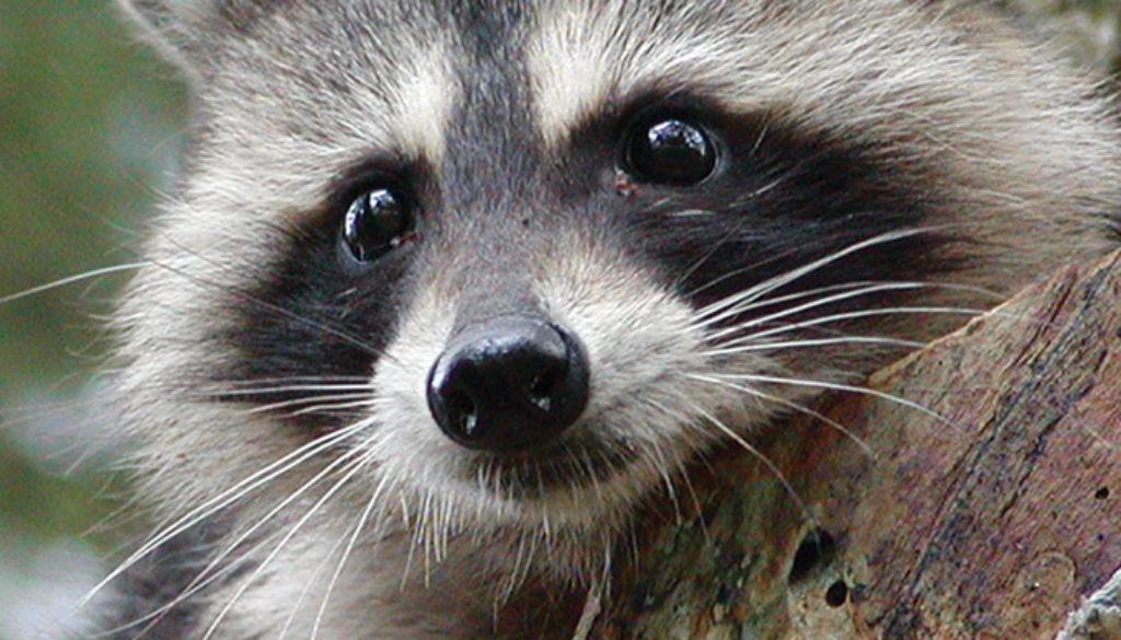 raccoon_blank_journal_lined_9781932472561_FC.jpg